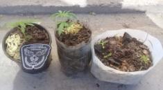 Mujer entregó de forma voluntaria plantines de marihuana
